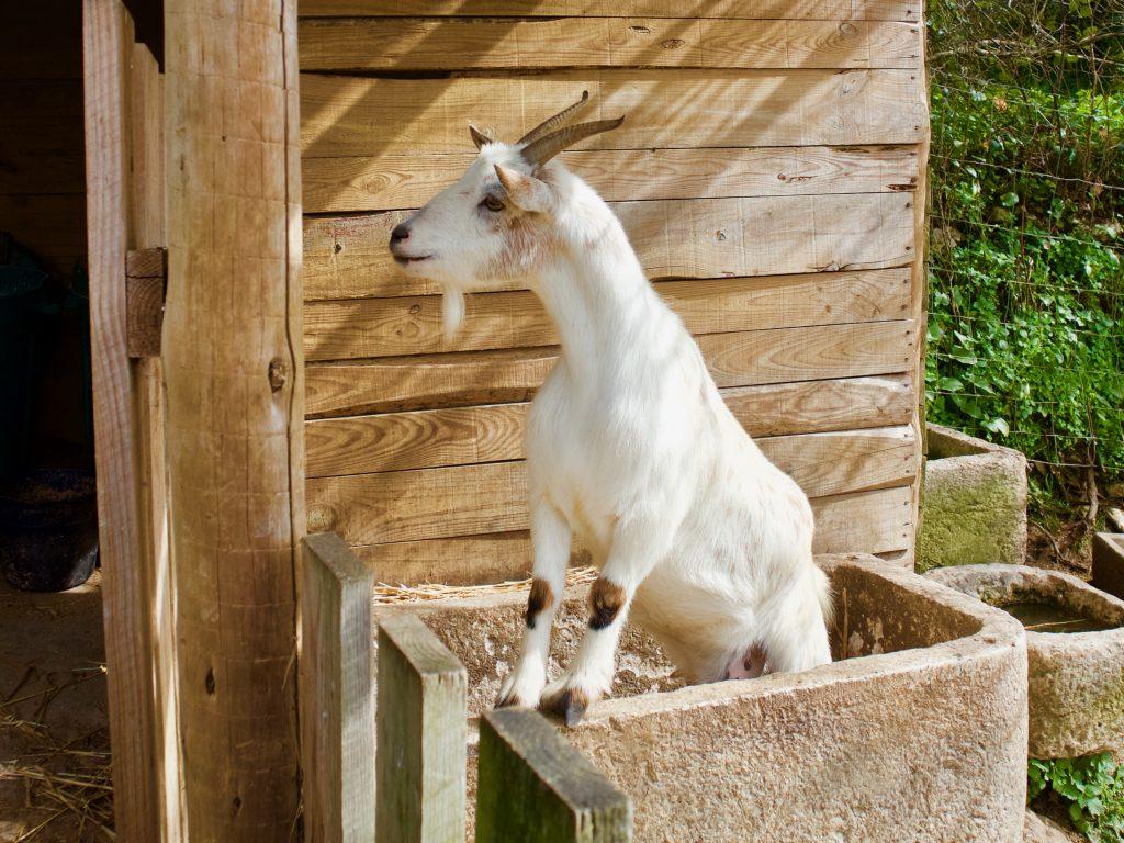 Aldeia Mata Pequena Goat