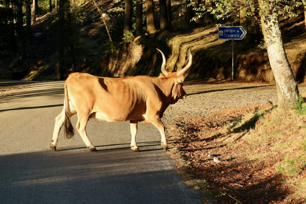 Cachena Cattle, Porta do Mezio