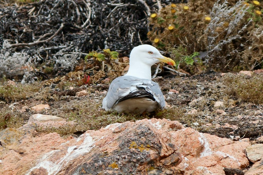Seagull on Berlenga Grande